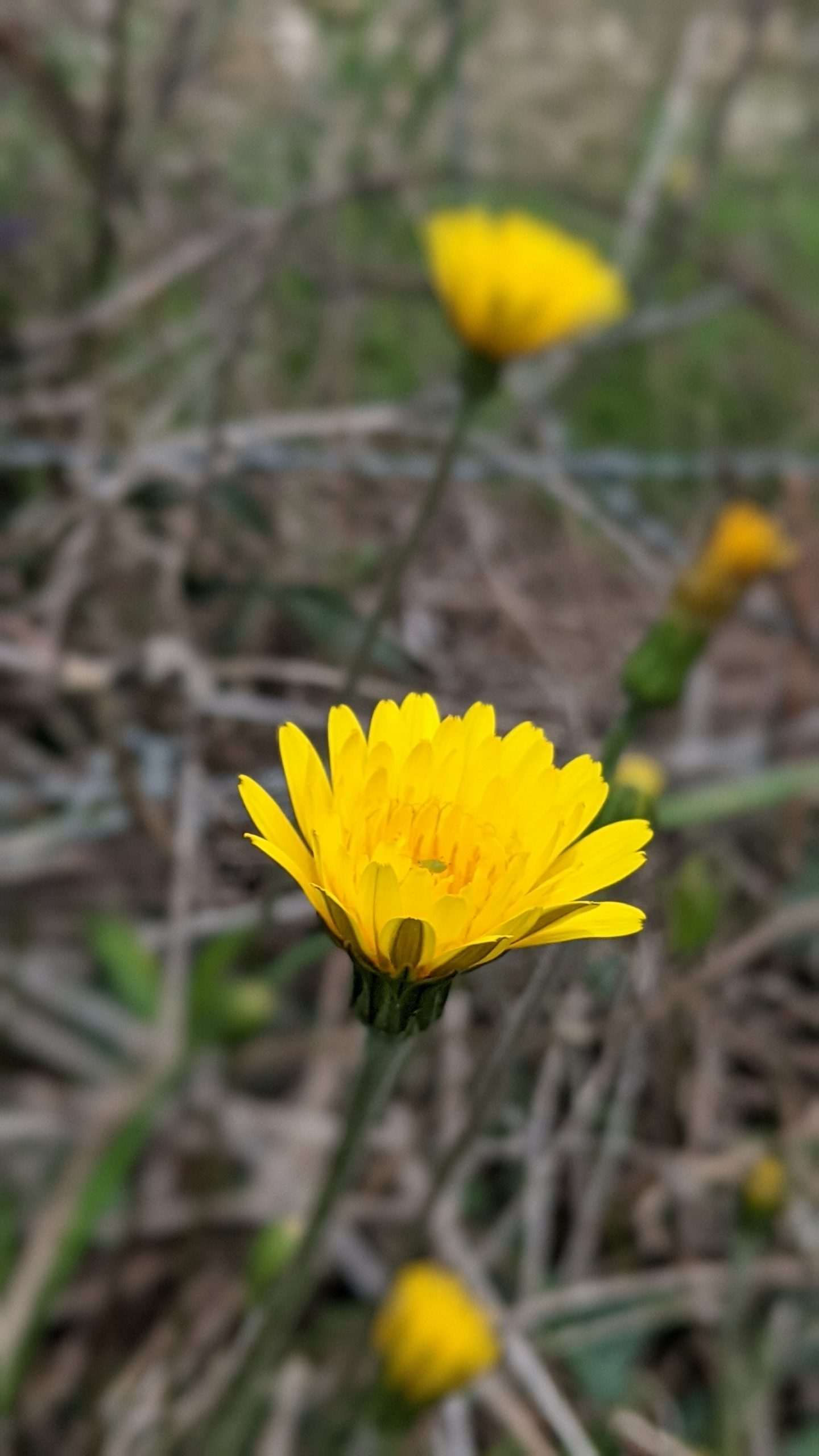 erba selvatiche commestibili il tarassaco